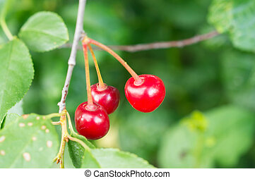 Some ripe cherries on a branch