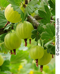 ripening gooseberries - some ripening gooseberries on the...