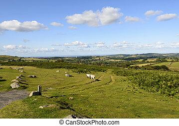 some sheep grazing in the moor, Dartmoor