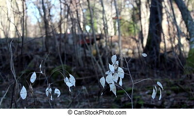 Some small withered Lunaria annua annual honesty plants on...