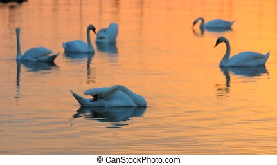 Some swans in the water