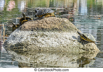 Some Turtle sitting on a stone in a lake enjoying the sun