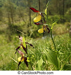 some yellow orchids in nature landscape