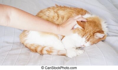Someones hand patting red fluffy cat