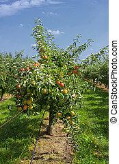 sommar, äpple fruktträdgård, träd, äpplen, lastat