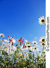 sommar, blomningen, äng