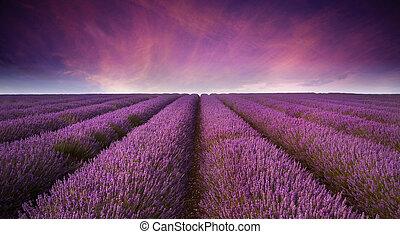 sommar, lavenderfält, bedöva, solnedgång, landskap