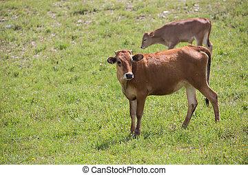 sommar, närbild, belyst, kött, fält, sol, concept., avel, suddig, jordbruk, bakgrund., produktion, grön, nötkreatur, frisk, gräs, mjölk, kalv
