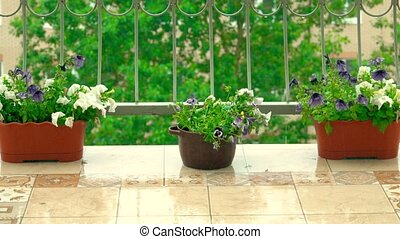sommar, petunia, regna, terrassera, inlagda blomstrar, öppna