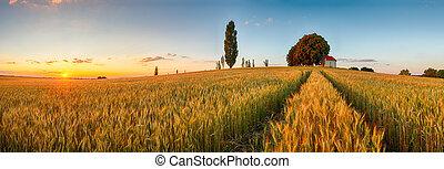 sommar, vete gärde, panorama, bygd, lantbruk