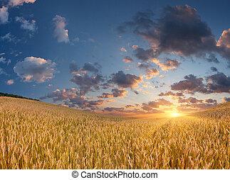sommar, vete, soluppgång, fält
