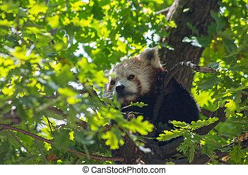 sommeil, arbre, panda, rouges, ours