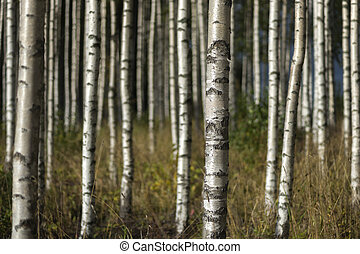 sommer, bäume, landschaftsbild, birke