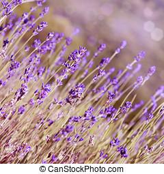 sommer, blomster, blokken, lavendel, tid