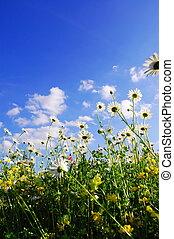 sommer, blumen, gänseblumen