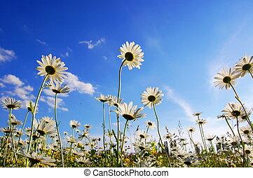sommer, daisy blomst