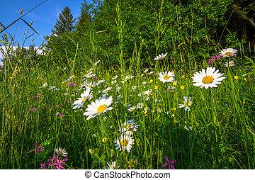 sommer, eng, hos, blomster