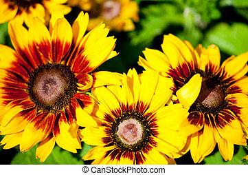 sommer, hell, sonnenblumen, tag, gelber