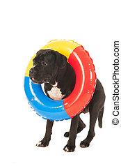 sommer, hund, mit, aufblasbar, schwimmender, spielzeug