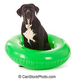 sommer, hund, mit, schwimmender, spielzeug