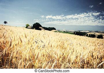sommer, hvede felt, dag, gylden