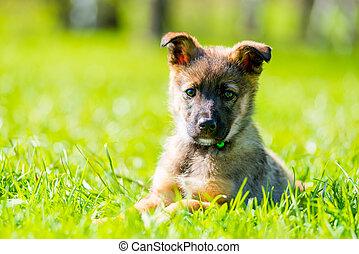 sommer, junger hund, park, grün, porträt, horizontal, gras, tag