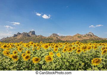 sommer, landscape:, schoenheit, sonnenuntergang, aus, sonnenblumen, feld, mit, warm, licht, und, berg