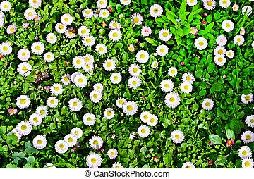 sommer, landskab., bellis, blomster