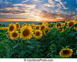 sommer, landskab, hos, solsikker, felt