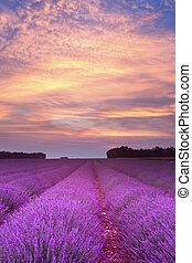 sommer, lavendel, sonnenuntergang