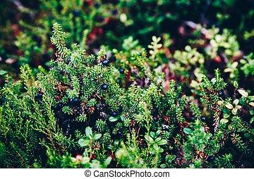 sommer, nahaufnahme, finnland, lappland, wald, crowberry,...
