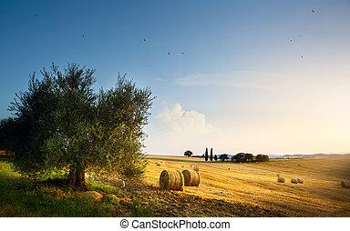 sommer, oliven, ackerland, toscana, tree;, landschaft, italy...