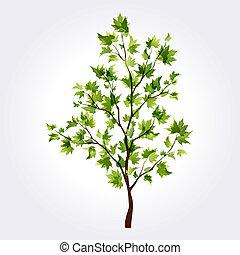 sommer, træ., ahorn