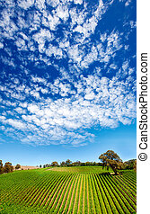 sommer, vingård