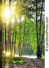 sommer, wald, bäume, birke