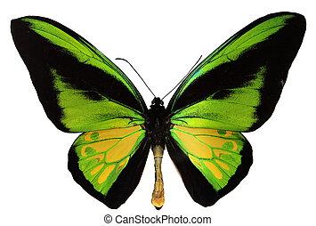 sommerfugl, birdwing, goliath