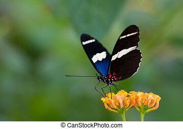sommerfugl, smukke