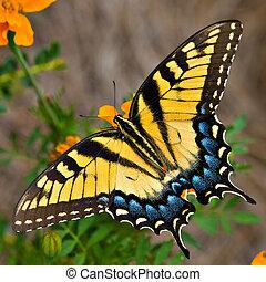 sommerfugl tiger, swallowtail