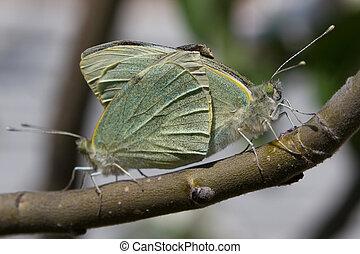 sommerfugle, par, branch