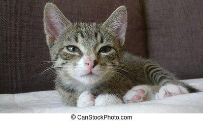 somnolent, chaton, divan