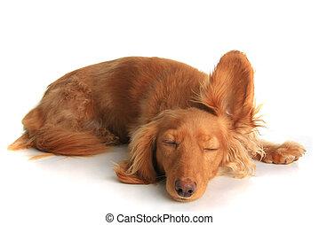 somnolent, chien, écoute