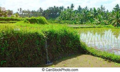 son, paddy, riz, irrigation, remplissage, eau