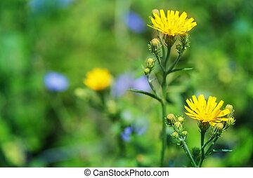 Sonchus arvensis - Closeup of a bright yellow flower Sow...