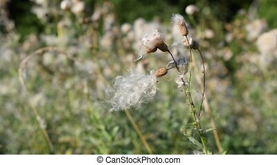 Sonchus oleraceus. Beautiful dry common sowthistle flower with fluff swaying in wind in late summer or early autumn. Also called sow thistle, smooth sow thistle, annual sow thistle, hare's colwort, hare's thistle, milky tassel, milk thistle, soft thistle, or swinies