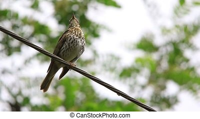 Song Thrush (Turdus philomelos) - song of a Song Thrush...