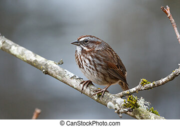 song sparrow bird