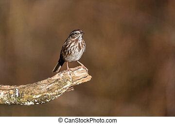 song sparrow in Richmond BC Canada