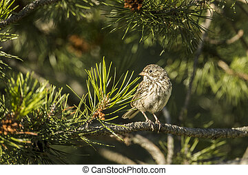 Song sparrow looks the other way.