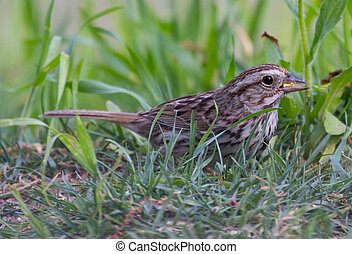 Song Sparrow (Melospiza melodia) foraging on the ground