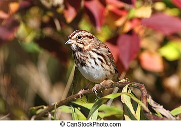Song Sparrow (Melospiza melodia) in a bush with fall colors